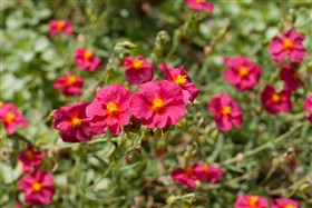 Red garden flowers