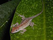 Lizard Drop