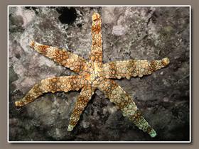 liquidStarfish