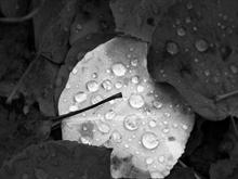 Black and white leaf