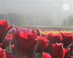 Tulip Morning