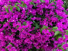 P Blossoms