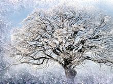 Ice Willow 2