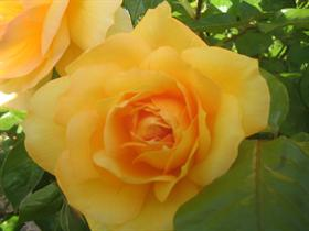 Curtis's Yellow Rose
